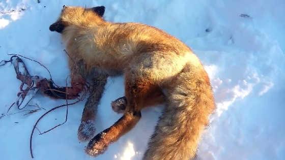 Охота на лисицу капканами в полях видео