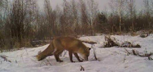 Охота на приваде на лису видео