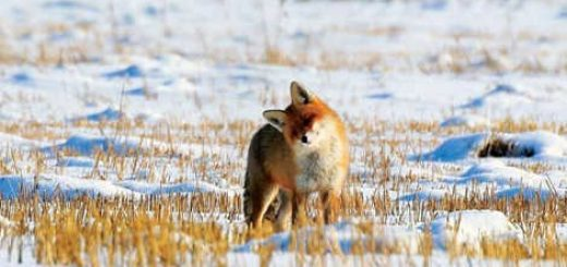 Охота на лису с подхода видео
