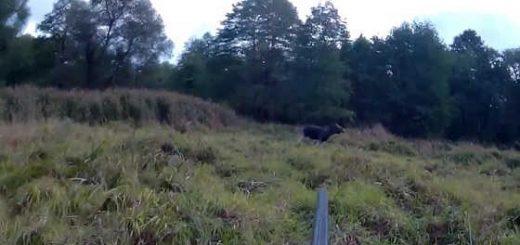 Охота на лося-сеголетка видео