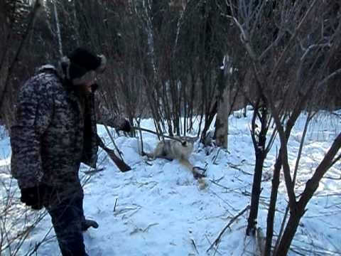 Охота на волка капканами видео