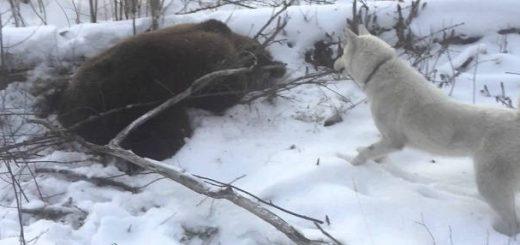 Охота с лайкой на медведя