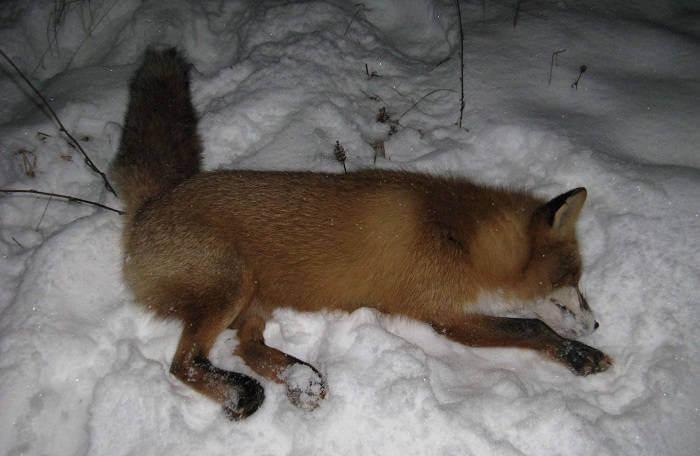 Особенности охоты на лис
