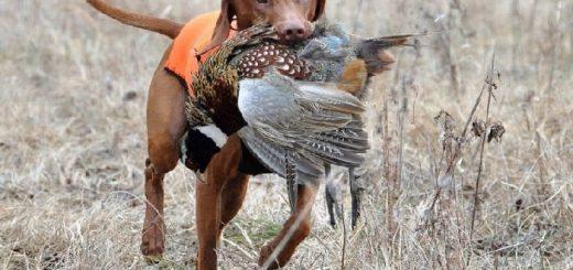 Уход за охотничьими собаками
