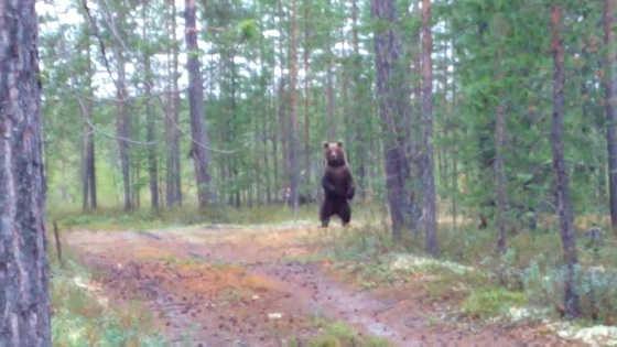 Встреча с медведем на Ямале видео