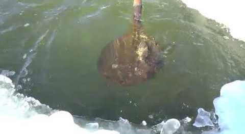 Зимняя ловля карася лопатой видео