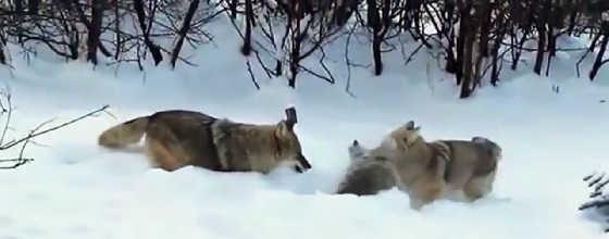 Барсук против волка видео