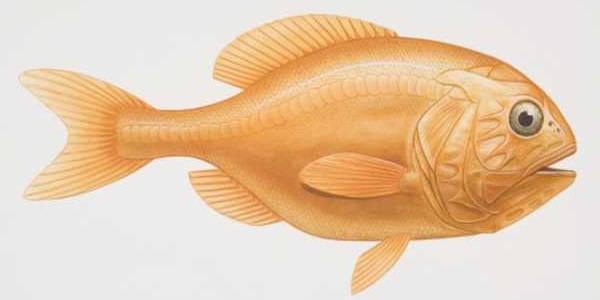 Сердцевидные эктопаразиты у рыб