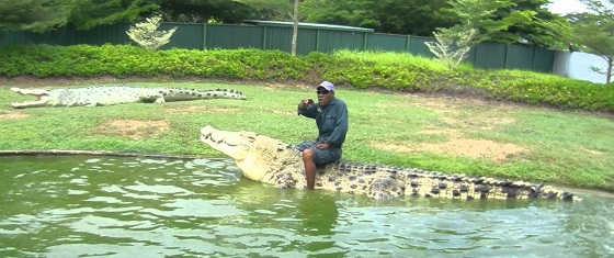 Крокодила угостили курицей видео