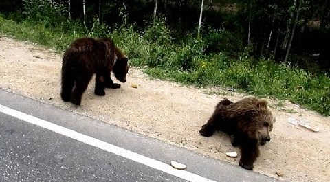 Медведица загрызла людей в тайге видео