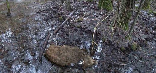 Мёртвое стадо кабанов видео