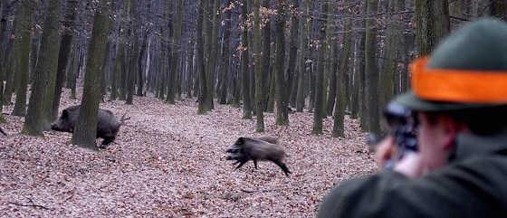 Охота на кабана: видео момента выстрела