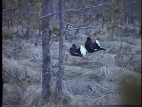 Охота на тетеревов на току весной видео