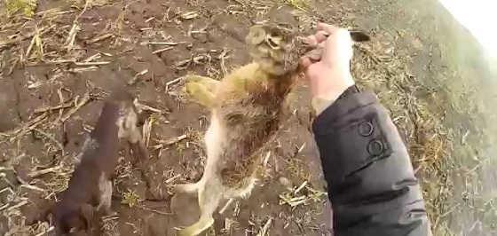 Охота на зайца с дратхааром видео