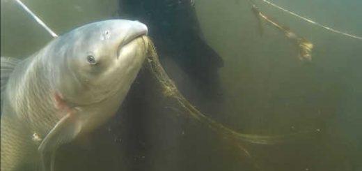 Подводная охота в Волге на белого амура