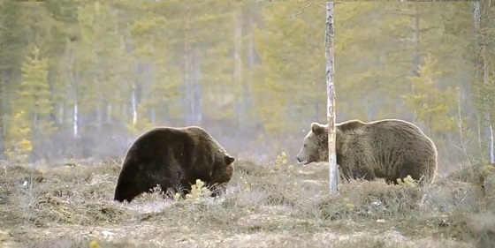 Схватка двух медведей видео