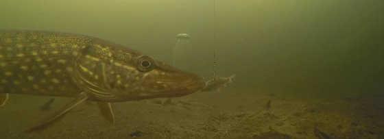 Подводная съемка охоты щуки