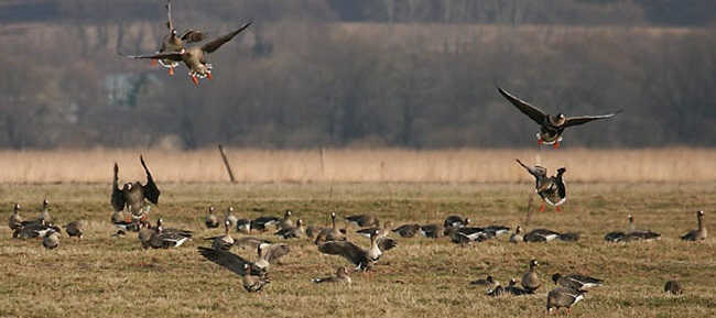 Весенняя охота на гуся в Подмосковье видео