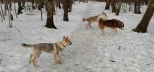 Волки и огромный хаски видео