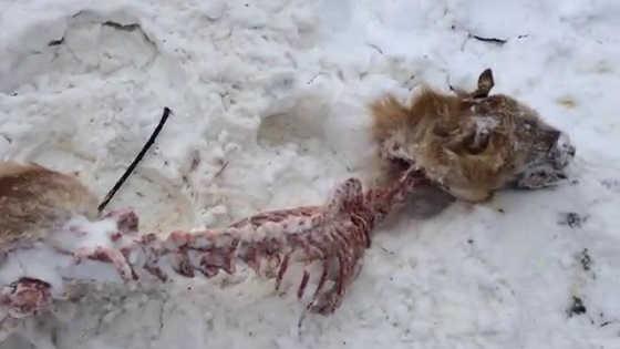 Волки загрызли рысь видео