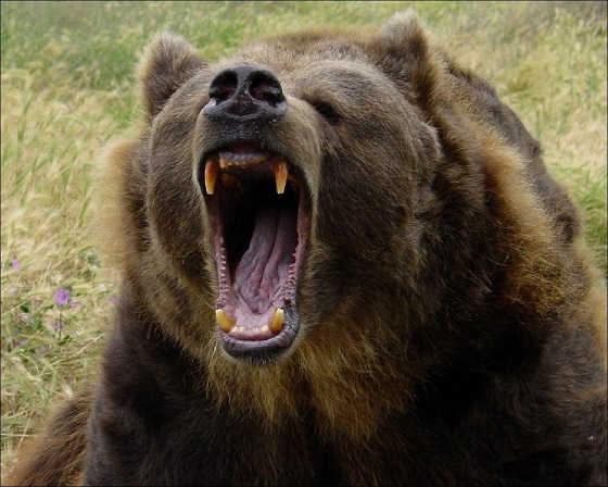 Атака медведя видео