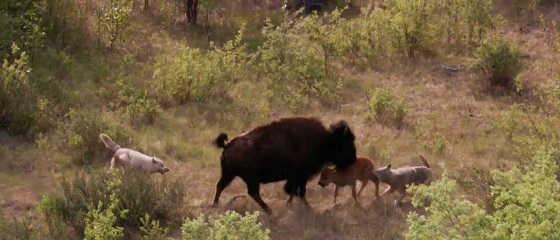 Бизон против волков видео