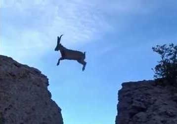 Горные козлы перепрыгивают утёс видео