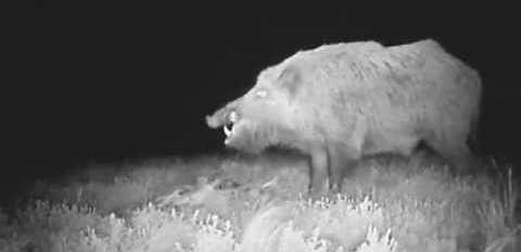 Кабан ест сайгака видео