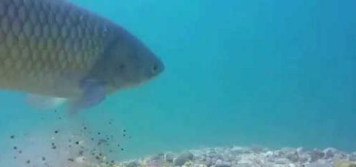 Ловля сазана, карпа, белого амура - подводная съёмка - видео