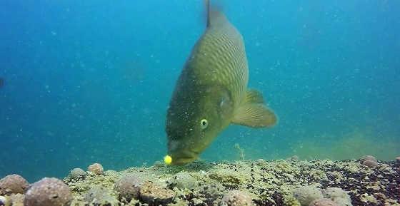 Ловля карпа видео подводной съемки