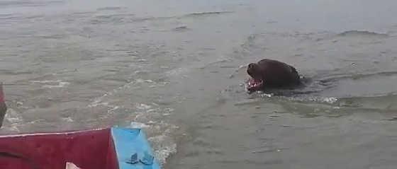 Медведь напал на лодку видео