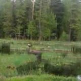 Медвежья охота на лося видео