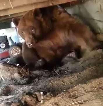 Мужик прогоняет медведя со двора видео