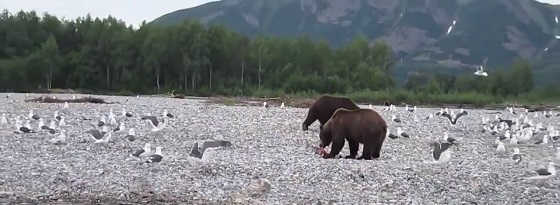 Нападение медведя видео