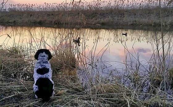 Обыкновенная охота на уток весной видео