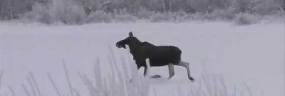 Охота на лося в Вологодской области видео