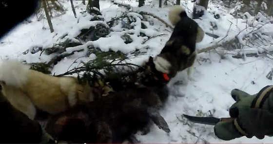 Охота на кабана с ножом видео