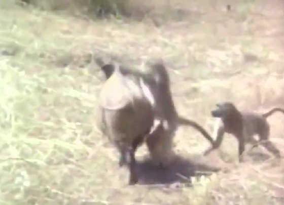 Охота с обезьянами на кабанов видео