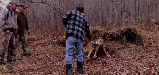 Освобождение волка из капкана видео