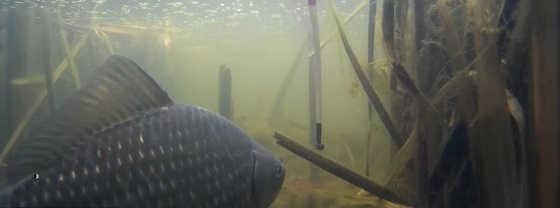 Подводная съемка ловли карася в камышах