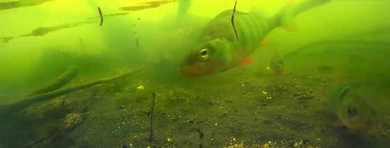 Поклевки на поплавочную удочку - подводная съемка - видео