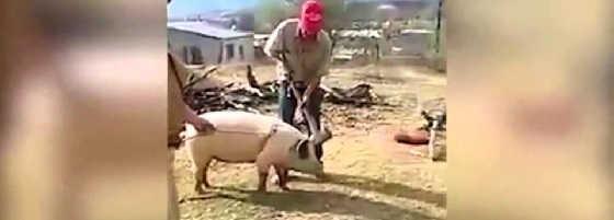 Свинья блокирует удар видео