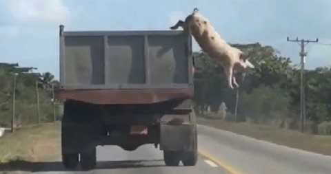 Свинья выпрыгнула из машины видео