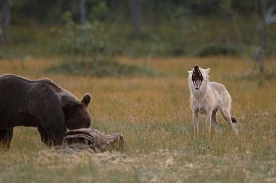 Волк и медведь видео