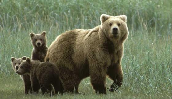 Агрессивная медведица видео