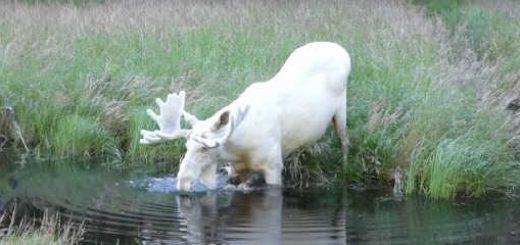 Белый лось видео