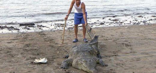 Что будет если дикого крокодила таскать за хвост видео