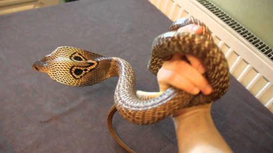 Индийская кобра в квартире видео