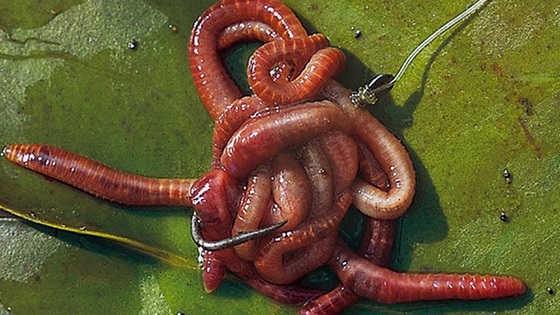 Как насадить червя на крючок видео