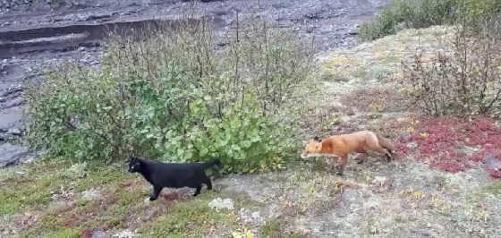 Кот и лиса видео
